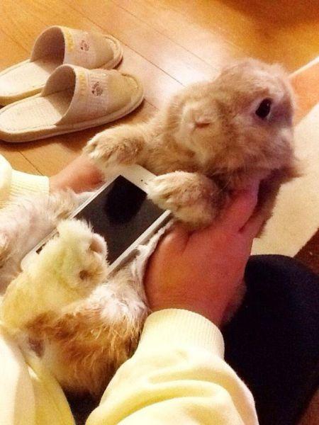 În Japonia iepurașii devin huse de iPhone și e vorba de animale vii!